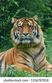 Portrait of a male of the Sumatran tiger (Panthera tigris sondaica) close up.