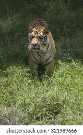 Portrait of male tiger in different activities