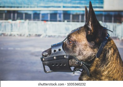 a portrait of a Malinois Belgian Shepherd breed dog with a leather mussel guarding for safety