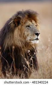 A portrait of malke lion, Masai Mara