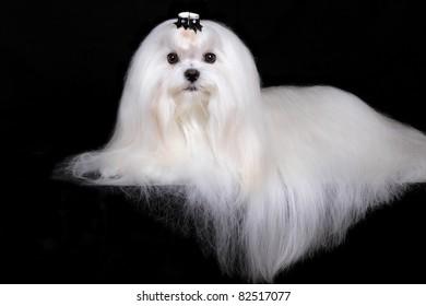 Portrait of maltese dog isolated on black
