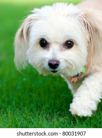 Portrait of maltipoo dog running in field
