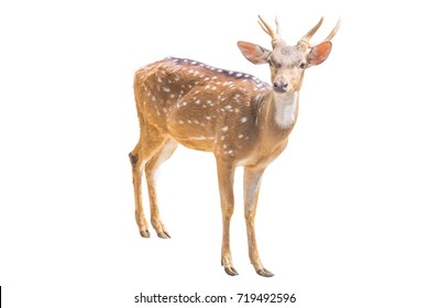 portrait mammal deer stand and looking isolated