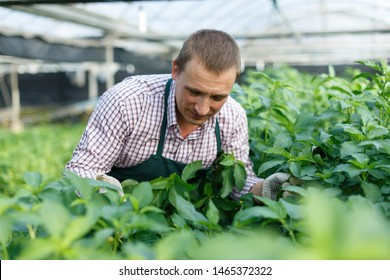Portrait of man gardener working with  white jute herbs in sunny hothouse
