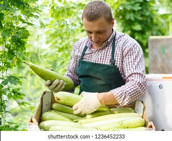Portrait of man  horticulturist in apron and gloves packing marrows to boxes in  garden
