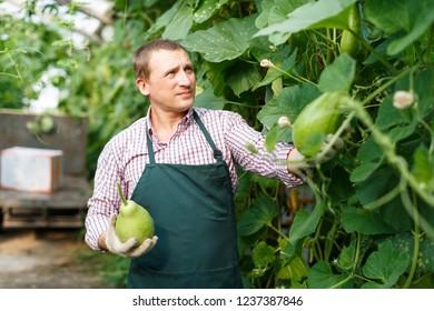 Portrait of man  horticulturist in apron and gloves picking  zucchinis in  garden