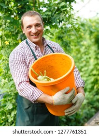 Portrait of man  horticulturist in apron and gloves picking  marrows to bucket in  garden