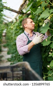 Portrait of man  horticulturist in apron and gloves picking  marrows in  garden