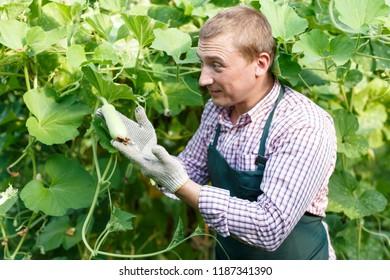 Portrait of man   horticulturist in apron  working with  marrow seedlings in  garden