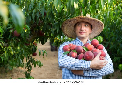 Portrait of man horticulturist in hat holding  stack of tasty peaches in garden