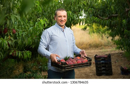 Portrait of man horticulturist holding crate with  peaches in garden