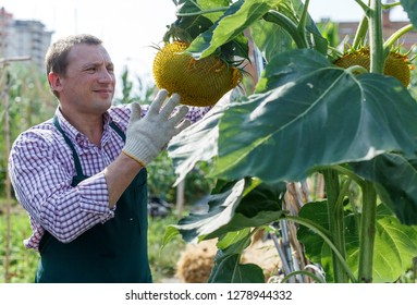 Portrait of man horticulturist working with sunflower in sunny garden outdoor