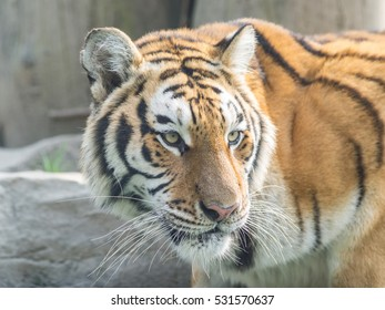 Portrait of manchurian tiger