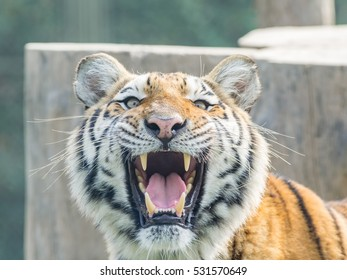 Portrait of manchurian tiger with mouth open.