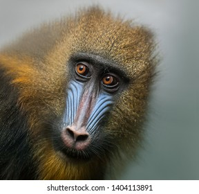 Portrait of Mandrill, Mandrillus sphinx, primate of the Old World monkey family