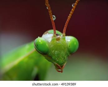 The portrait of Mantis Religiosa with drops of water.