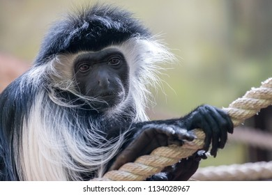 Portrait of Mantled guereza (Colobus guereza) with sad or pensive expression. Black face is framed with white hair. Eastern black-and-white colobus is black monkey with long white fringe of silky hair