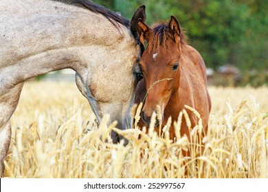 Portrait of a mare and her foal in rye field with beautiful green background.