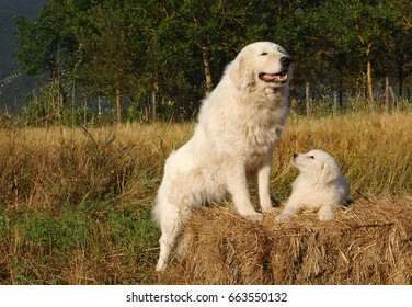 Portrait of Maremma Sheepdog with puppy, Shepherd dog Maremmano Abruzzese.