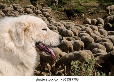 Portrait of Maremma Sheepdog, Shepherd dog Maremmano Abruzzese.