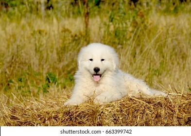Portrait of Maremma Sheepdog, Shepherd dog Maremmano Abruzzese.