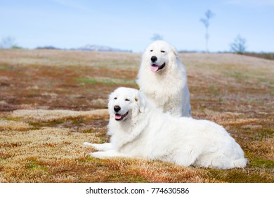 Portrait of maremma sheepdogs