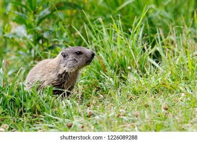 Portrait of marmot