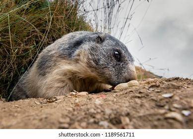 portrait of marmot in the swiss alps