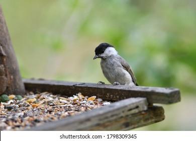 Portrait of  Marsh tit  on a feeder rack full of seeds in the garden