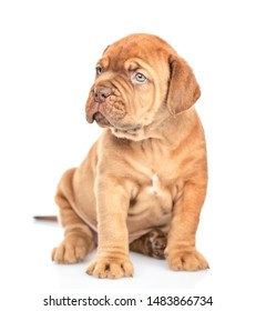 Portrait of a mastiff puppy sitting in front view and looking away. isolated on white background