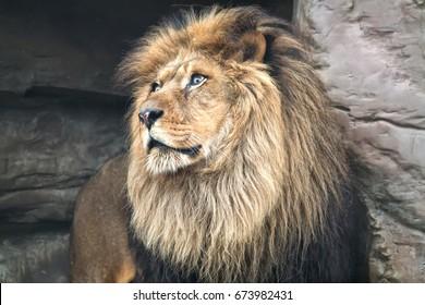 Portrait of a mature adult lion