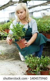 Portrait of mature female gardener in apron  cutting gardenia plants in hothouse
