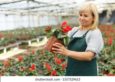 Portrait of mature female gardener choosing  flowers of red cyclamen in pot  in greenhouse