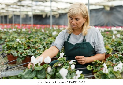 Portrait of mature woman taking care of cyclamen  flowers indoors in hothouse