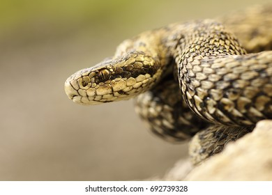 portrait of meadow viper in natural habitat, macro image on venomous snake ( Vipera ursinii rakosiensis, listed as endangered in IUNC red list )