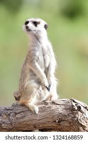 Portrait of a meekat (suricata suricatta) standing on a branch