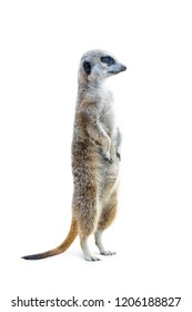 Portrait of a meerkat standing upright and looking alert isolated on white background.