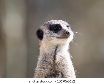 Portrait of a meerkat in the sunshine
