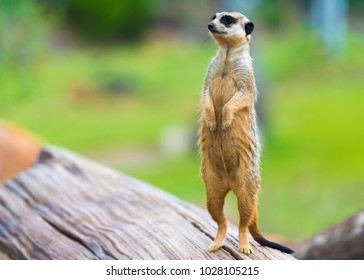 Portrait of Meerkat Suricata suricatta, African native animal, small carnivore belonging to the mongoose family