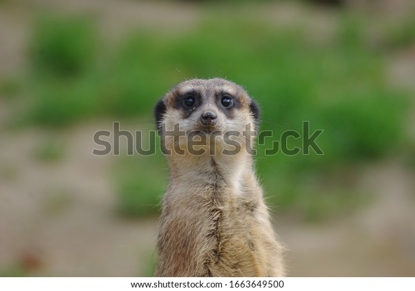Portrait of Meerkat Suricata suricatta, African native animal