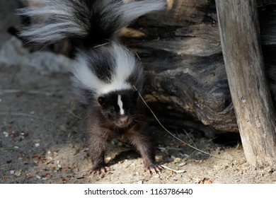 Portrait of mephitidae is a family of mammals comprising the skunks and stink badgers. Photography of nature and wildlife.