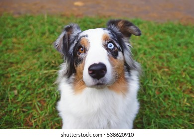 The portrait of a merle Australian Shepherd dog with different eyes color staying outdoors
