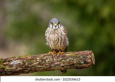 Portrait of a Merlin Falcon