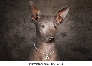 Portrait of Mexican xoloitzcuintle dog against grunge background