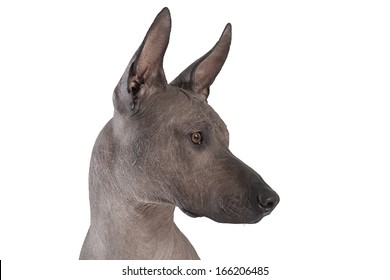 Portrait of Mexican xoloitzcuintle dog isolated on white