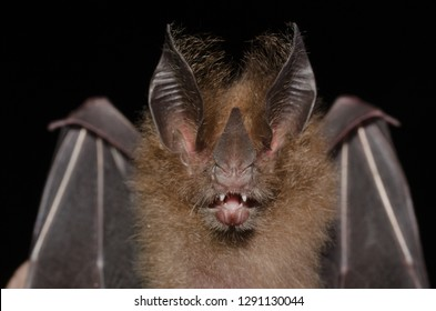 Portrait of Micronycteris megalotis (Little Big-eared Bat).