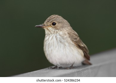 Portrait of migratory songbird,  Muscicapa striata, Spotted Flycatcher against green background.