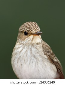 Portrait of migratory songbird,  Muscicapa striata, Spotted Flycatcher against green background. Vertical photo.