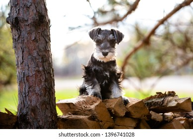 portrait of mini schnauzer puppy sitting on wood pile, back lit with cute flopped over ears