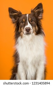 Portrait of miniature american shepherd dog looking at the camera on an orange background